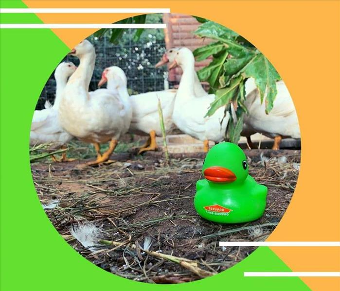 Green Rubber duck set on the ground with a flock of white ducks in the background